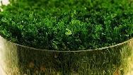 طرز تهیه سبزه عدس پربار و زیبا