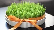 طرز تهیه سبزه گندم پرپشت و زیبا برای سفره هفت سین