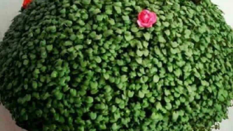 سبزه با هسته نارنج