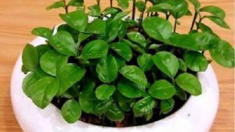 روش کاشت سبزه با هسته مرکبات